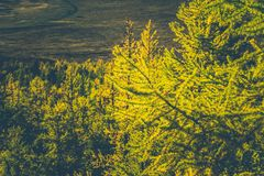 Grove of coniferous trees in the forest. Autumn Sunny weather stock images