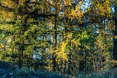 Grove of coniferous trees in the forest. Autumn Sunny weather royalty free stock photos