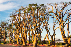 Grove of Coral Trees Royalty Free Stock Photography