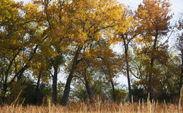 Grove of Cottonwoods in Fall Colors Stock Images