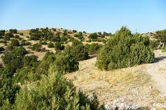 Grove des Wacholderbusches nahe dem Dorf von Novy Svet Lizenzfreie Stockfotos