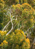 Eucalyptus Trees, Batiquitos Lagoon, California Royalty Free Stock Photography