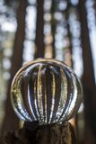 Grove of Giant Redwood Sequoia Trees Captured in Glass Globe Bal. Grove of Giant Sequoia Redwood trees with lines of trunks captured in glass ball reflection royalty free stock image