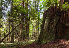 Grove  of Giant Redwoods Stock Photography