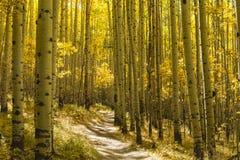 Grove of Golden Aspens. A grove of Aspen trees in full Autumn color on the Colorado Trail in Kenosha Pass, Colorado Royalty Free Stock Photos