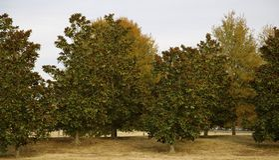 Grove of Magnolia Trees Stock Photo