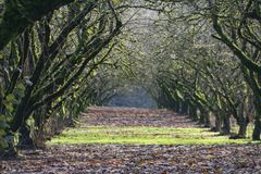 Grove of Mature, Moss Covered, Hazel Nut Trees royalty free stock image