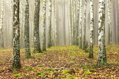 Grove Of Birch Trees And Dry Grass In Early Autumn Royalty Free Stock Photos