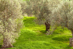 Grove of Olive Trees Royalty Free Stock Photo
