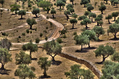 Olive Trees Grove. A grove of Olive trees, along with path and stone wall. This grove is located at the foot of Mount of the Olives next to the surrounding wall Royalty Free Stock Images