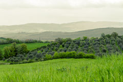 Grove of olive trees in Tuscany. The picture was taken in Tuscany, in Rheine Orcia Valley (Val d Orcia Stock Photos