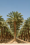 Grove of Palm Trees. In the desert near the Dead Sea, Israel royalty free stock images
