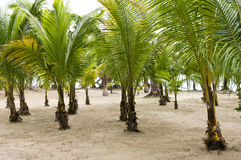 Grove of Palm Trees for Conservation. A grove of palm trees planted to reclaim and protect land in Roatan, Central America Royalty Free Stock Photography