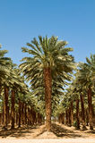 Grove of Palm Trees in the desert, Israel Stock Images