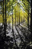 Grove of Poplar Trees. The poplar forest was planted with artificial regularly Stock Photo