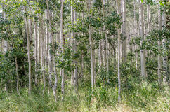 Grove of Quaking Aspen Stock Image