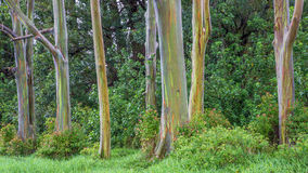 Grove Of Rainbow Trees Stock Photography