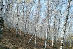 Grove of Silver Birch. A grove of silver birch which is in an autumn day Royalty Free Stock Photos