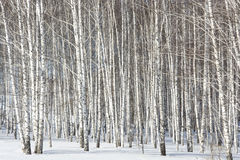 Grove of silver birches Royalty Free Stock Images