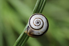 Grove snail Royalty Free Stock Image