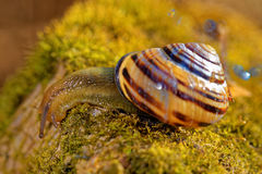 Grove snail Stock Image