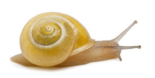 Grove snail or brown-lipped snail without dark Stock Photos