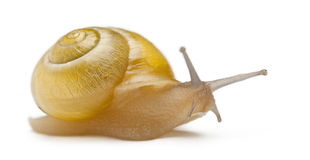 Grove snail or brown-lipped snail without dark Royalty Free Stock Images