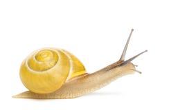 Grove snail or brown-lipped snail without dark bandings, Cepaea nemoralis Royalty Free Stock Photos