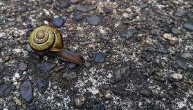 Grove Snail or Brown-lipped Snail Stock Photos