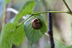 Grove snail - Cepaea nemoralis Royalty Free Stock Images