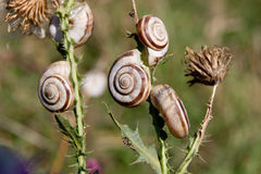 Grove snail (Cepaea nemoralis) Royalty Free Stock Photo
