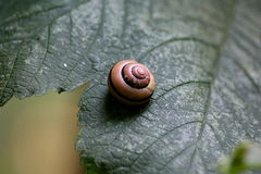 Grove snail, Cepaea nemoralis, on plant Royalty Free Stock Photography