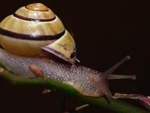 Grove Snail in the Garden - Close Up Stock Photos