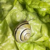 Grove snail upon green lettuce Royalty Free Stock Images
