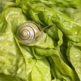 Grove snail upon green lettuce Royalty Free Stock Image