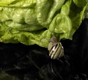 Grove snail and green salad Stock Images