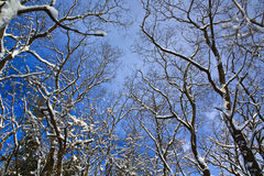 Grove of snow-laden trees. On the Ice Age Trail in Wisconsin Royalty Free Stock Photography