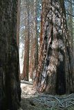 A grove of statuesque sequoia royalty free stock image
