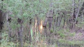 Grove swamp stock footage