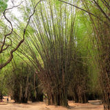 Grove of tall bamboo trees in shades of green Stock Photography