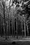 Grove of Trees. A grove of white birch trees. Black and White Royalty Free Stock Photo