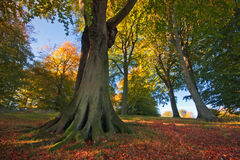 Grove of trees in autumn. A colourful grove of trees on a bright sunny autumn morning in rural Oxfordshire, England stock photography