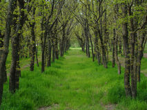 Grove. Trees in a row,the tunnel of trees, a grove in the forest,Sunny day Royalty Free Stock Images