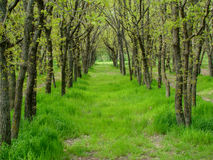 Grove. Trees in a row,the tunnel of trees, a grove in the forest,Sunny day Royalty Free Stock Photography