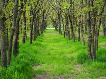 Grove. Trees in a row,the tunnel of trees, a grove in the forest,Sunny day Royalty Free Stock Photo