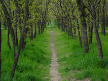Grove. Trees in a row,the tunnel of trees, a grove in the forest,Sunny day Stock Photography