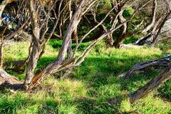 Distorted Stringy bark Eucalyptus Trees, Sydney, Australia. A grove of twisted and distorted stringy bark eucalyptus trees on an exposed coastal headland stock photos