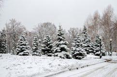 Grove von jungen schneebedeckten Fichten stockfotografie