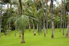 Grove von Palmen, Teneriffa, kanarische Inseln, Spanien, Europa Stockfotos