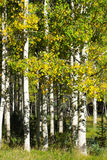 Grove of White Aspen Trees with Autumn yellow leaves Royalty Free Stock Photos